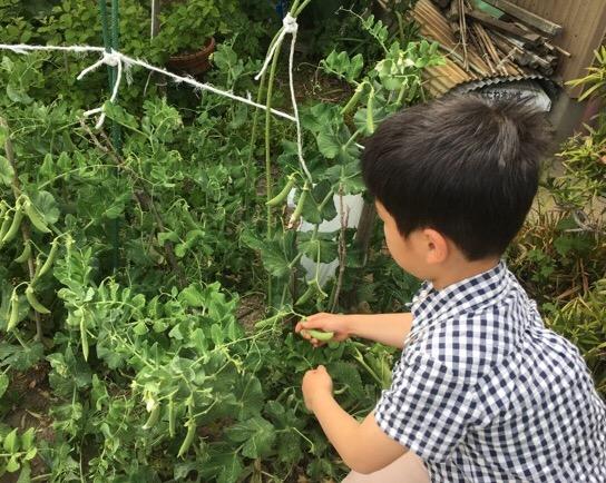 エンドウ豆収穫中(*'▽'*)